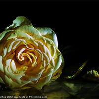 Buy canvas prints of Rose by Doug McRae
