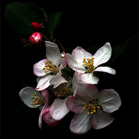 Buy canvas prints of Apple blossom by Doug McRae