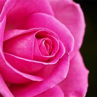 Buy canvas prints of Rose (rosa) by Doug McRae