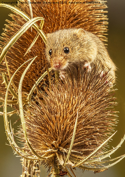 Harvest Mouse Canvas print by Sandi-Cockayne -Dalescapes