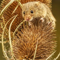 Buy canvas prints of  Harvest Mouse by Sandi-Cockayne -Dalescapes