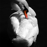 Buy canvas prints of Swan by Samantha Higgs