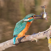 Buy canvas prints of Kingfisher / Perch by Don Davis