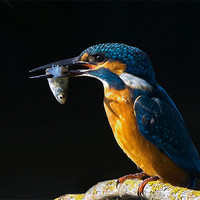 Buy canvas prints of Kingfisher by Don Davis