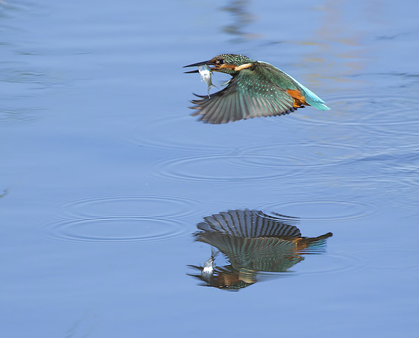 Kingfisher / Reflection. Canvas print by Don Davis
