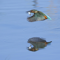 Buy canvas prints of Kingfisher / Reflection. by Don Davis