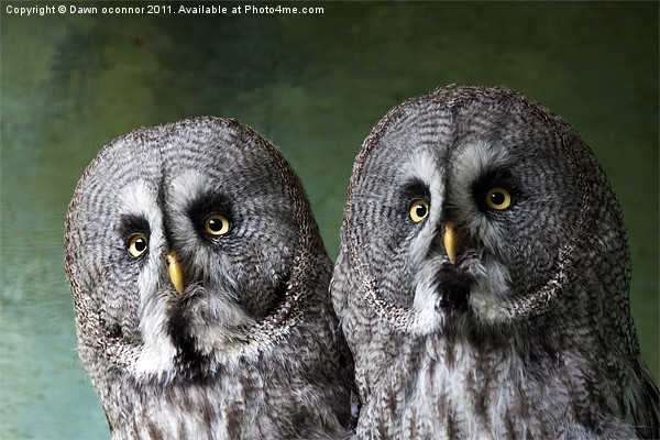 Double Take, Pair of Owls Canvas print by Dawn O'Connor