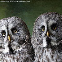 Buy canvas prints of Double Take, Pair of Owls by Dawn O'Connor