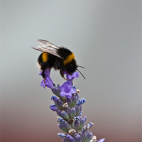 Buy canvas prints of Bee on Lavender by Dawn O'Connor