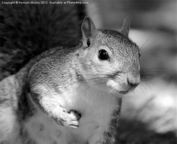 Grey Scale Grey Squirrel! Canvas Print by Hannah Morley