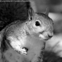 Buy canvas prints of Grey Scale Grey Squirrel! by Hannah Morley
