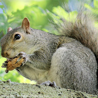 Buy canvas prints of Grey Squirrel with monkey nut! by Hannah Morley