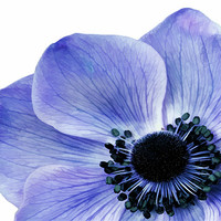 Buy canvas prints of Blue Anemone by Anthony Michael Poynton