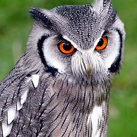 Buy canvas prints of Southern White Faced Owl by Anthony Michael Poynton