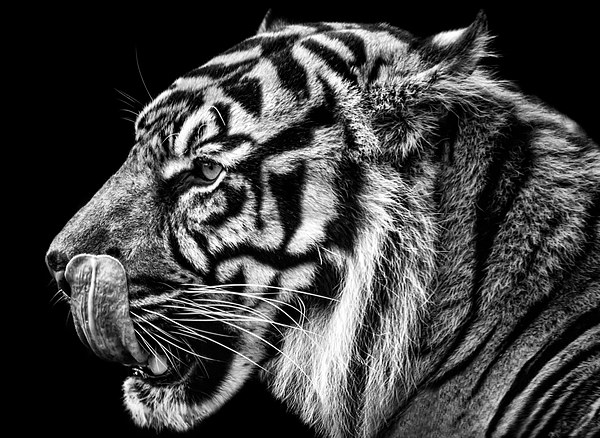 Tiger Canvas print by Sam Smith