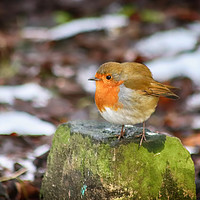Buy canvas prints of Robin by Joanne Wilde