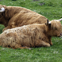 Buy canvas prints of Highland Cows by james sanderson