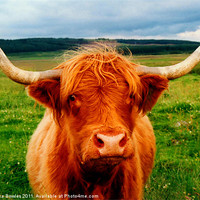 Buy canvas prints of Highland Cow by Serena Bowles