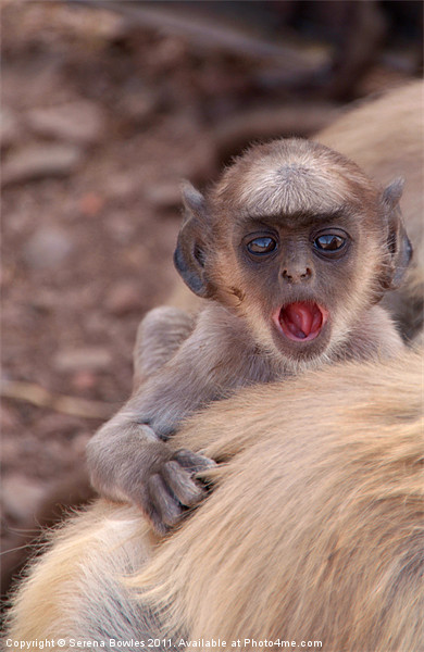 Baby Langur Monkey Ranthambore Fort, India Framed Print by Serena Bowles