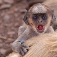 Buy canvas prints of Baby Langur Monkey Ranthambore Fort, India by Serena Bowles