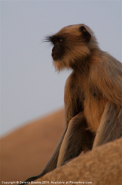 Langur Monkey in Quiet Contemplation, Hampi, India Framed Print by Serena Bowles