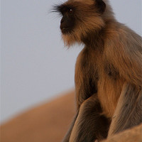 Buy canvas prints of Langur Monkey in Quiet Contemplation, Hampi, India by Serena Bowles