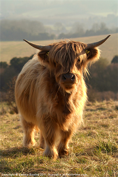 Young Highland Cow Framed Print by Serena Bowles