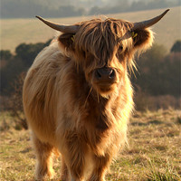 Buy canvas prints of Young Highland Cow by Serena Bowles