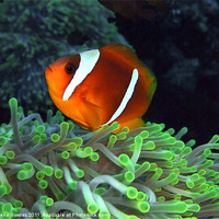 Buy canvas prints of Anemone Fish in Anemone by Serena Bowles