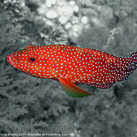 Buy canvas prints of Red Coral Cod Fish over Hard Coral by Serena Bowles