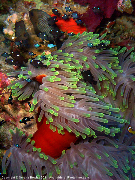 Domino Damselfish in Anemone, Red Sea, Egypt Framed Print by Serena Bowles