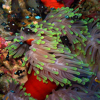 Buy canvas prints of Domino Damselfish in Anemone, Red Sea, Egypt by Serena Bowles