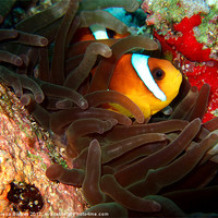 Buy canvas prints of Clown fish in Hiding by Serena Bowles