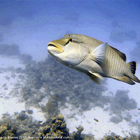 Buy canvas prints of Napoleon Maori Wrasse over Hard Coral, Red Sea, Eg by Serena Bowles