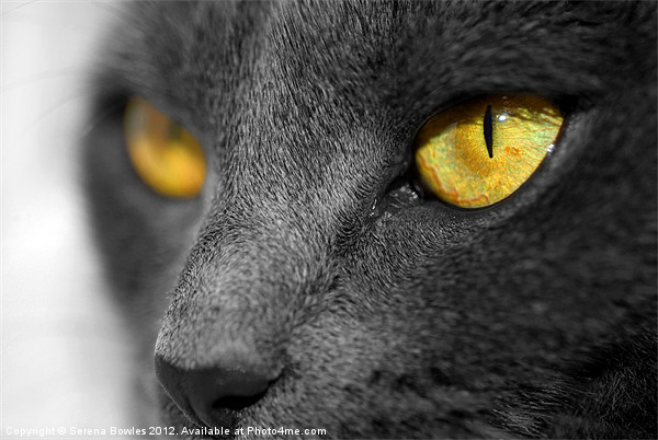 The Golden Eyes of a Cat Framed Print by Serena Bowles