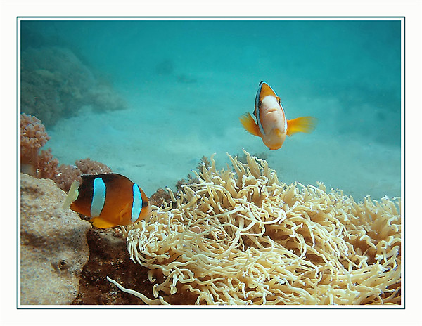 Clown Fish at Play Framed Print by Serena Bowles
