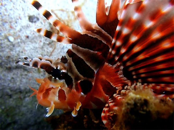 Lion fish Looking Framed Print by Serena Bowles