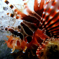 Buy canvas prints of Lion fish Looking by Serena Bowles
