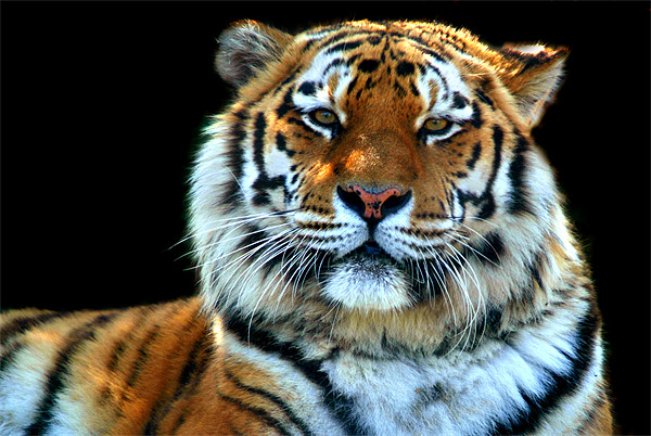 Majestic Sumatran Tiger Canvas print by Serena Bowles