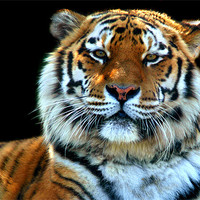 Buy canvas prints of Majestic Sumatran Tiger by Serena Bowles