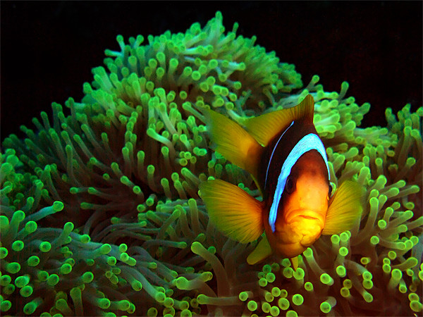 Clown Fish in Green Anemone Framed Print by Serena Bowles