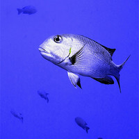 Buy canvas prints of Bigeye Emperor Fish by Serena Bowles