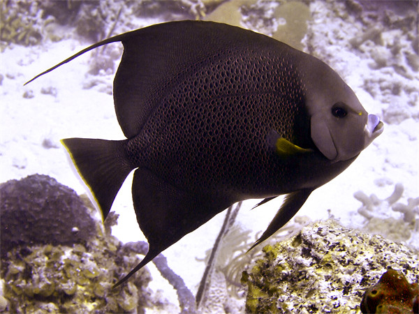 Black Angel fish From Side Framed Print by Serena Bowles