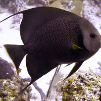 Buy canvas prints of Black Angel fish From Side by Serena Bowles