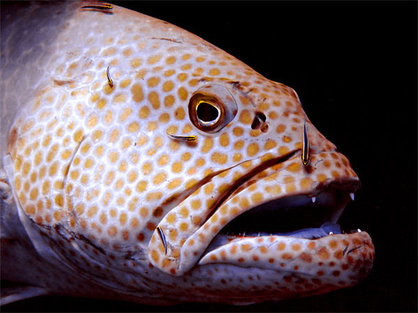 Coral Grouper Fish Being Cleaned Framed Print by Serena Bowles