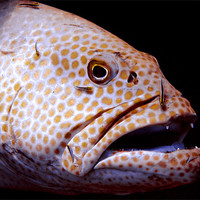 Buy canvas prints of Coral Grouper Fish Being Cleaned by Serena Bowles