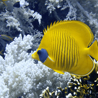 Buy canvas prints of Butterfly Fish Over Fire Coral by Serena Bowles