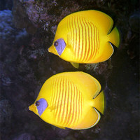 Buy canvas prints of Pair of Yellow Butterflyfish by Serena Bowles