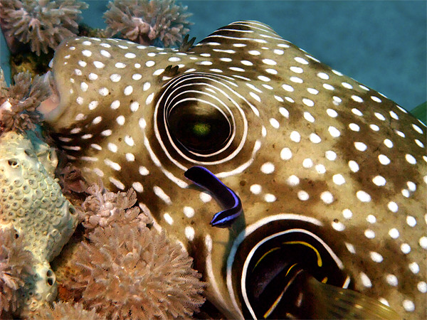 Stars and Stripes Pufferfish Being Cleaned Framed Print by Serena Bowles