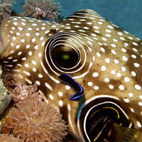 Buy canvas prints of Stars and Stripes Pufferfish Being Cleaned by Serena Bowles
